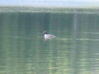 Duck on Arrow Lake