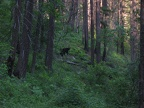Black bear and cubs right along the trail.  I played hide and seek for an hour trying to get around this momma and cubs