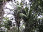 Cohune Palm Trees - largest palm trees in the jungle