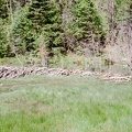 A very large, impressive beaver dam at Ute Meadows camp