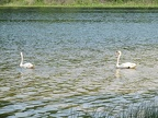 Swans on Bass Lake