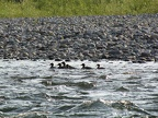 Merganser ducks on the North Fork of the Flathead River