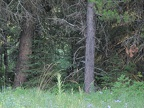 Grizzly Bear - between the two large trees - next to the right one